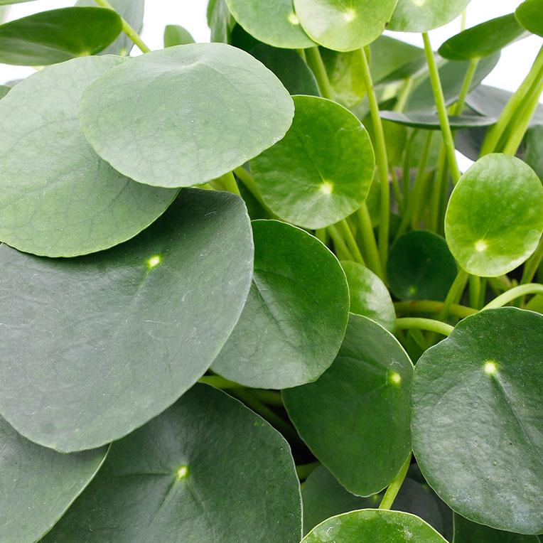 Pannenkoekenplant verzorging