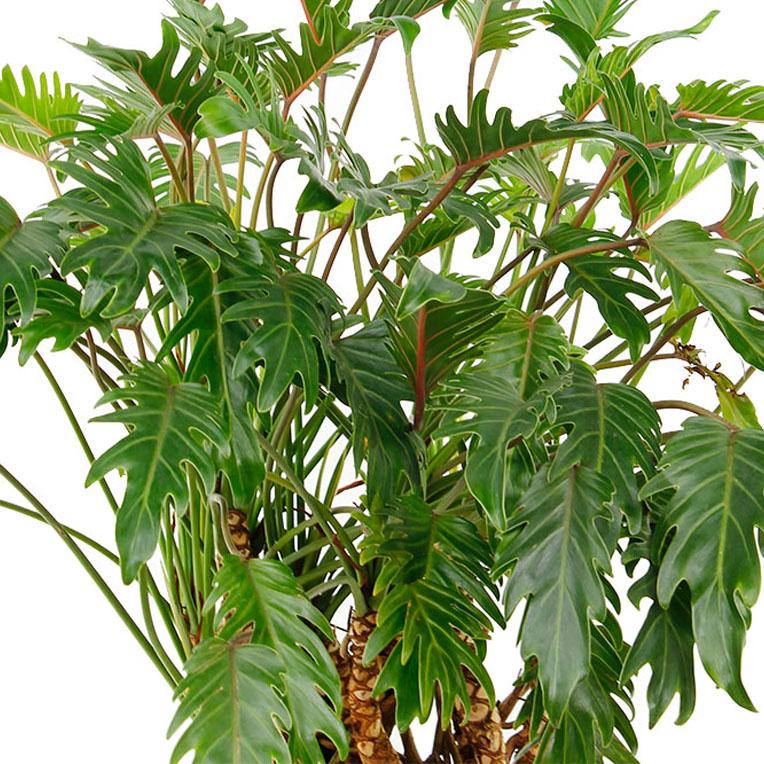 Philodendron bladeren