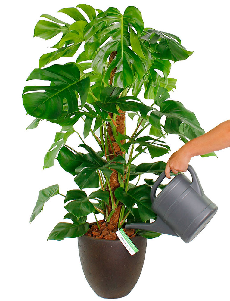 Philodendron water geven