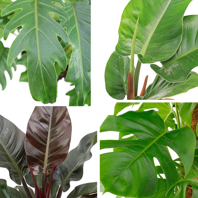 Philodendron soorten