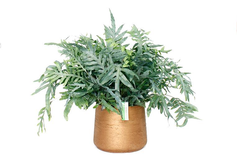 Zinkvaren Phlebodium in mooie pot