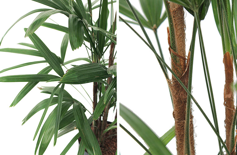 Rhapis stam en blad