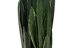 Sansevieria Black Tiger