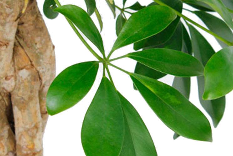 Schefflera blad