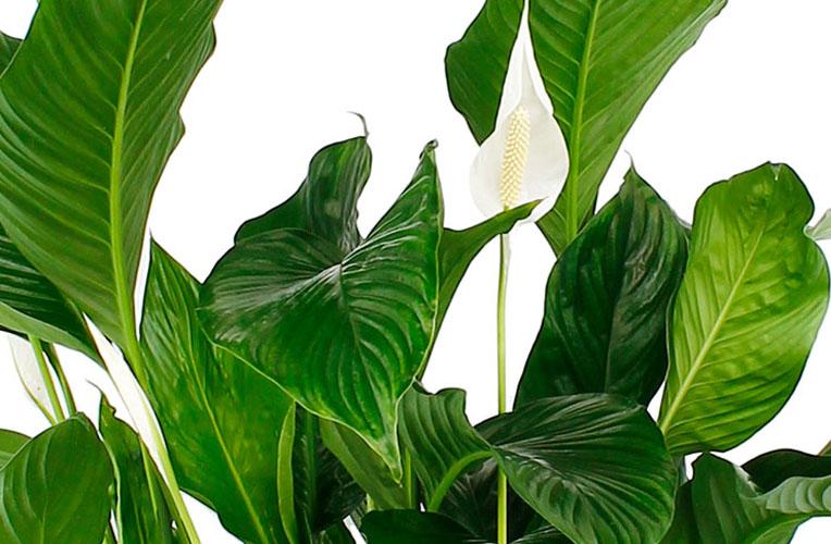 Spathiphyllum bladeren