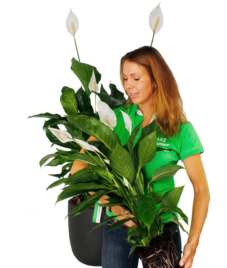 Spathiphyllum verpotten