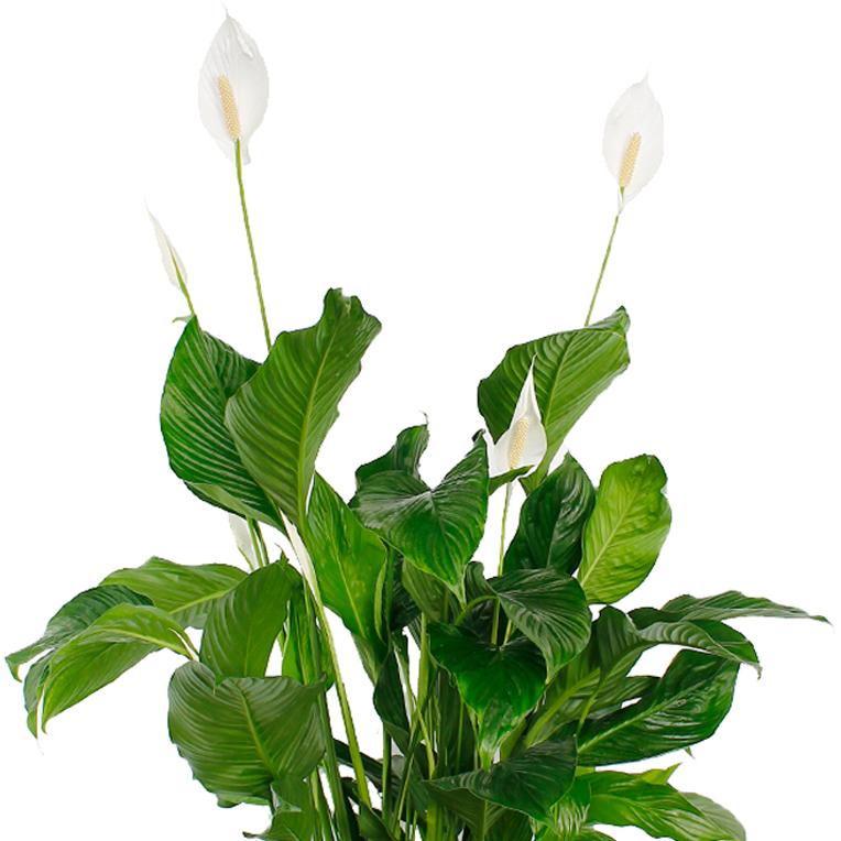 Spathiphyllum verzorging