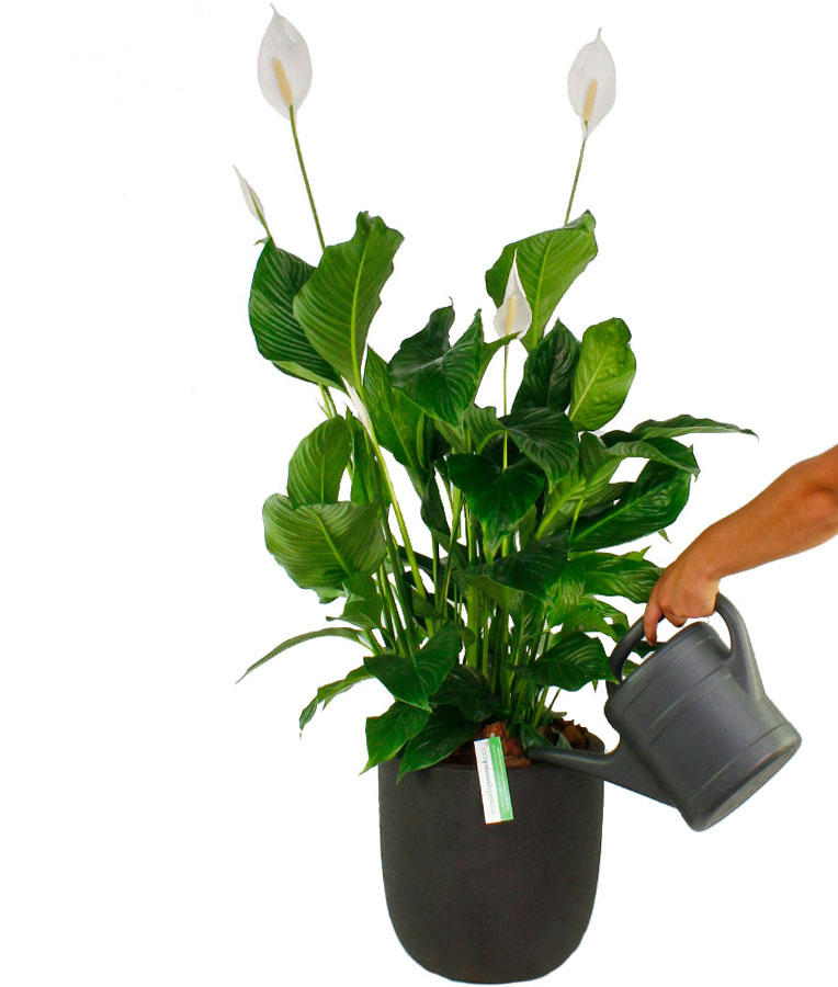 Spathiphyllum water geven