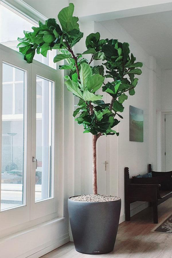 Ficus lyrata voor raam op het zuiden