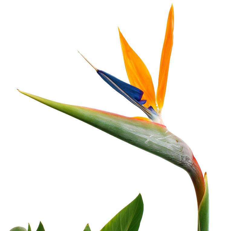Strelitzia in bloei paradijsvogel bloem