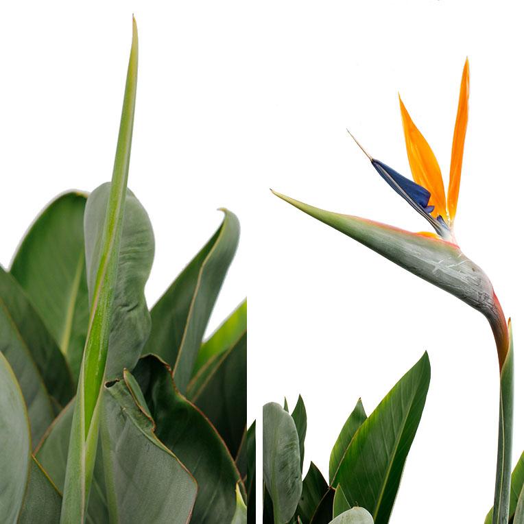 Strelitzia nieuwe bloemknop en paradijsvogel bloem