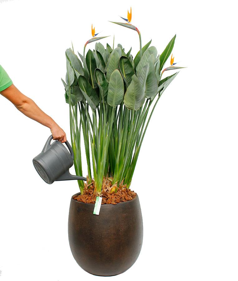 Strelitzia Reginea water geven