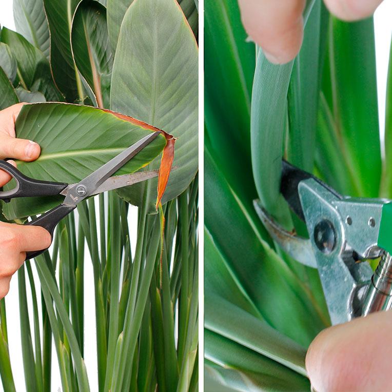 Strelitzia bruine randen weg knippen