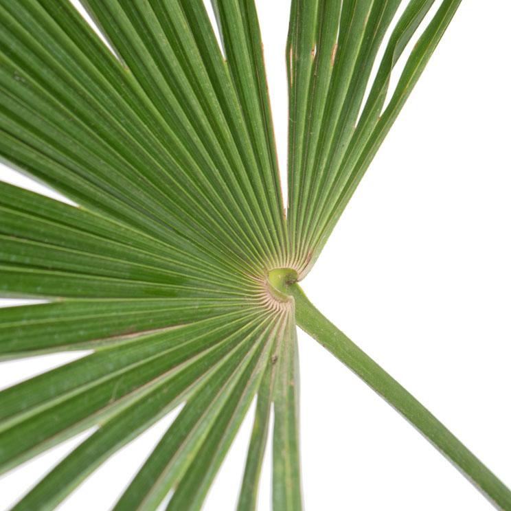 Trachycarpus blad