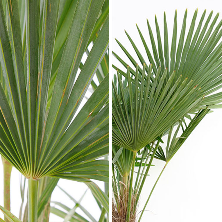 Bladeren Trachycarpus