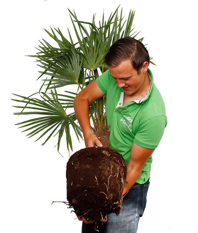 Trachycarpus verpotten
