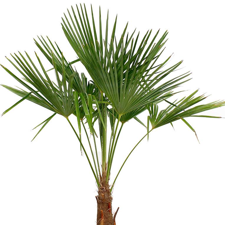 Trachycarpus verzorging