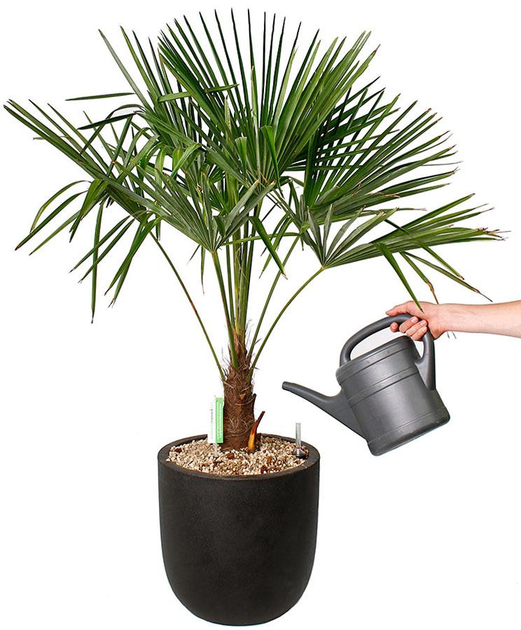 Trachycarpus water geven