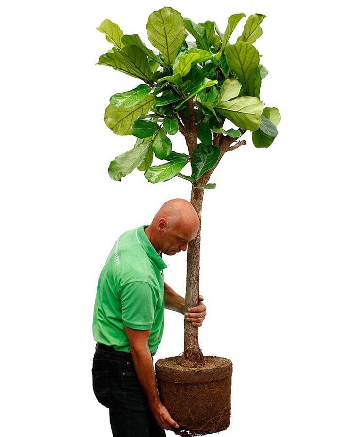 Snelgroeiende Ficus verpotten