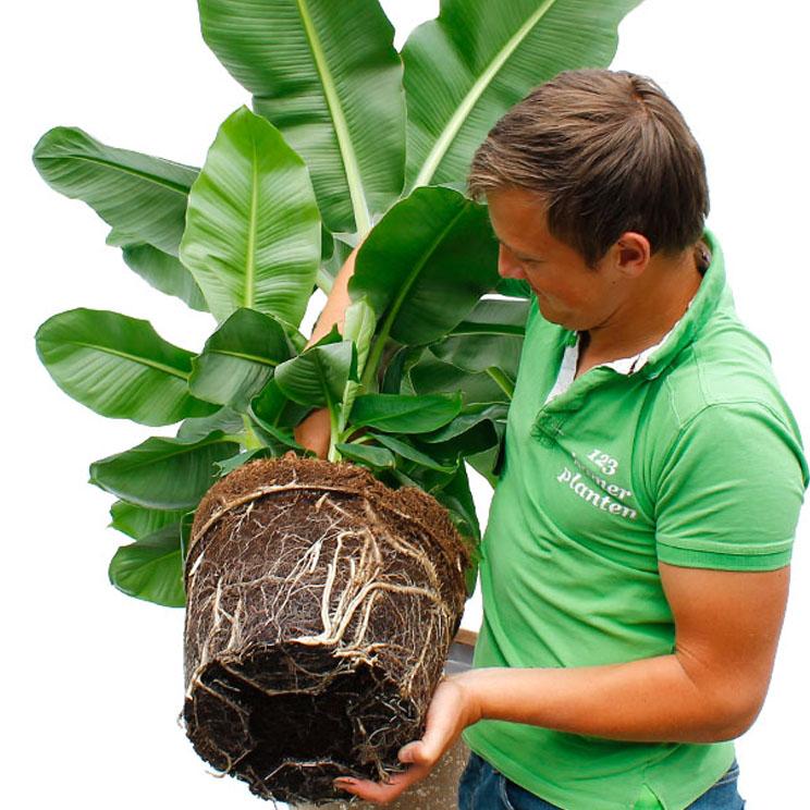 Bananenplant verpotten