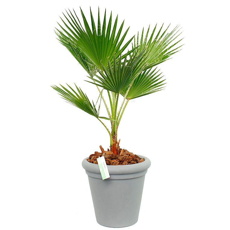 Washingtonia waaierpalm in pot