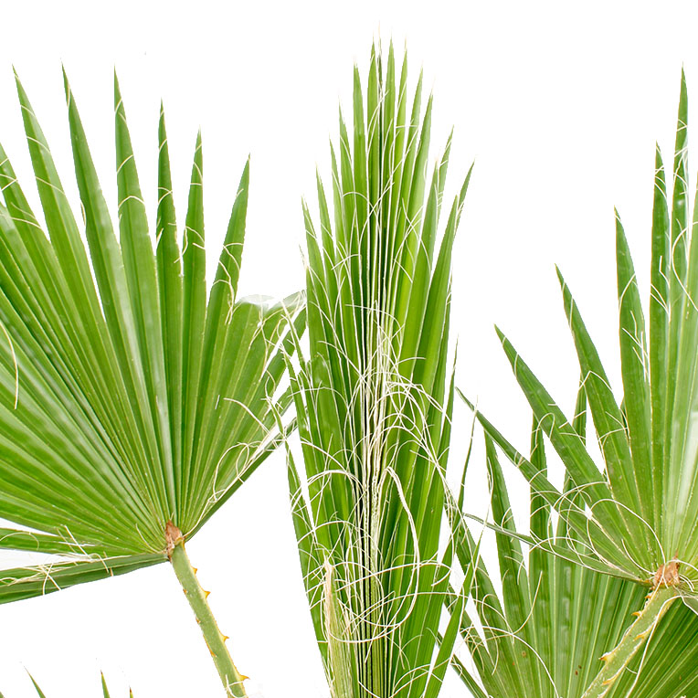 Washingtonia verzorging tips