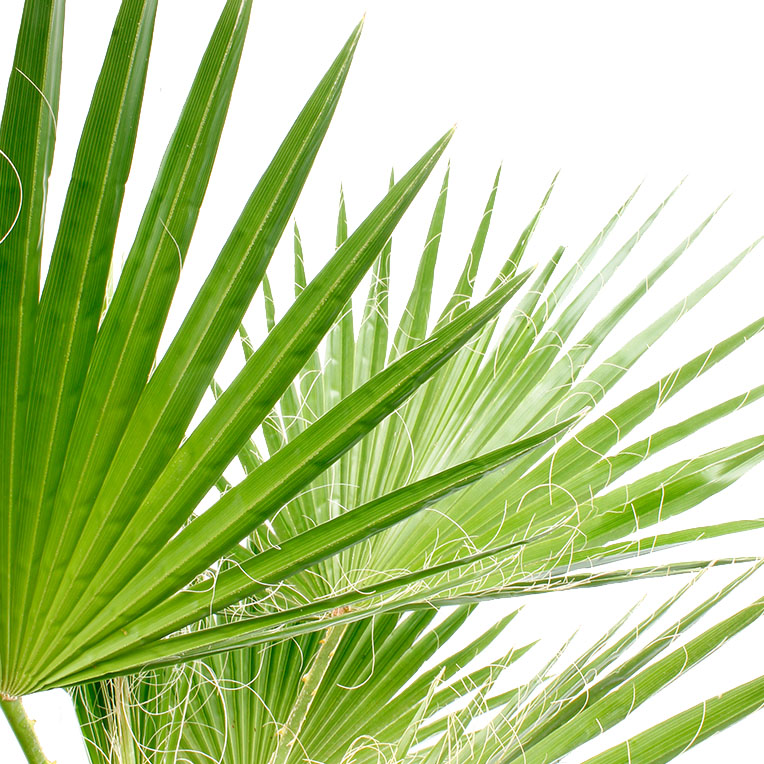 Washingtonia blad