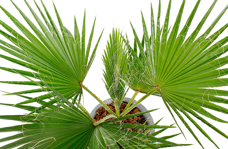Washingtonia waaierpalm bladeren