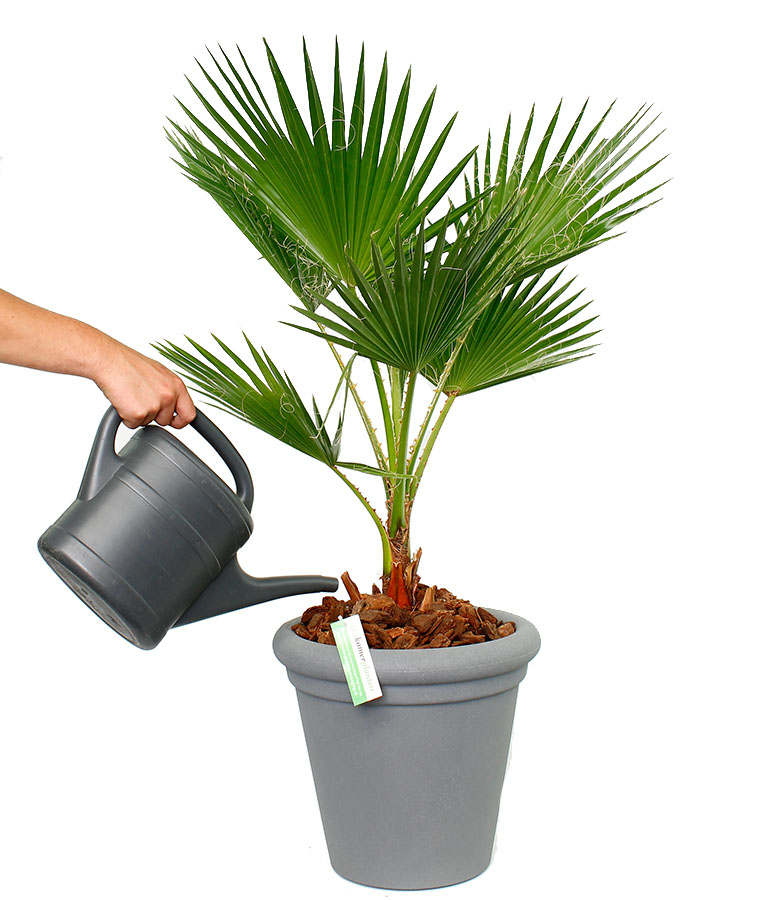 Washingtonia water geven