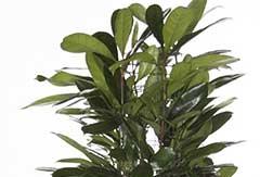 Ficus Cyastistipula