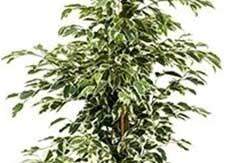 Ficus gantel