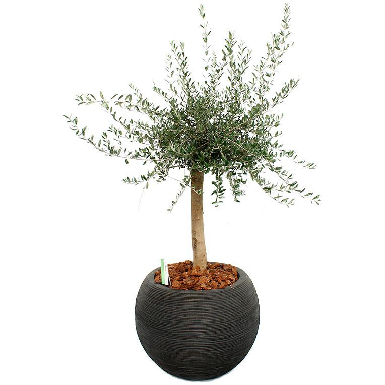 Boom In Pot Tuin.Olijfboom Verzorging Tips Informatie 123planten Nl