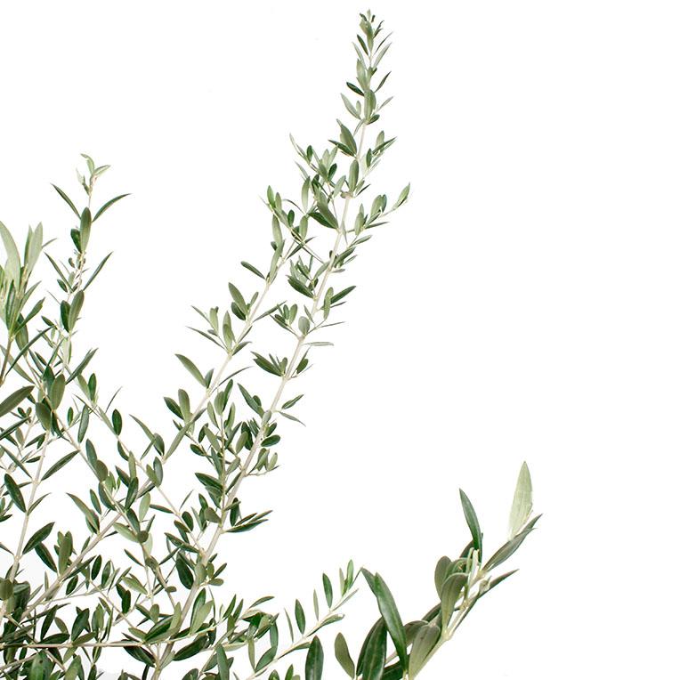 Olijfboom olijftakken