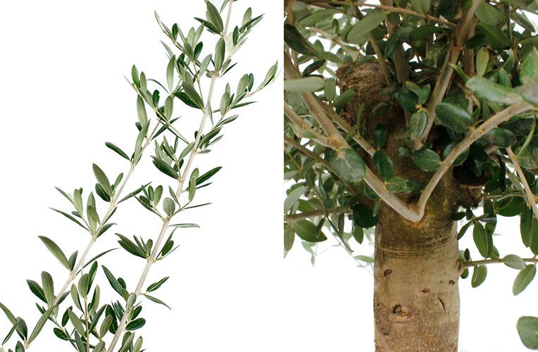 Olijfboom bladeren en stam