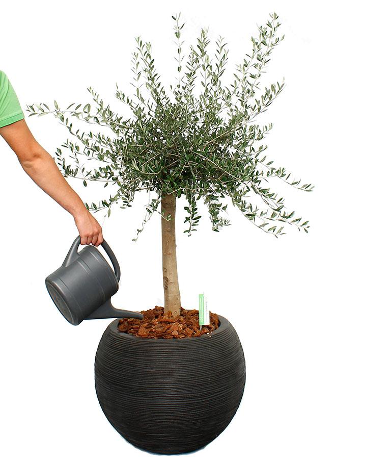 Olijfboom water geven