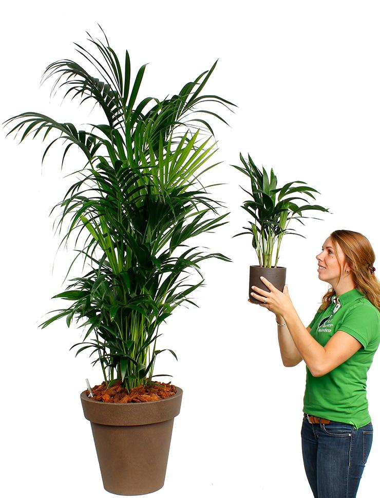 Grote palmen kopen