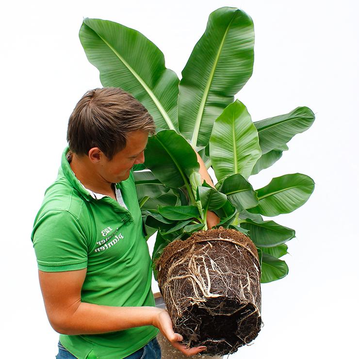 Grote bananenplant kopen