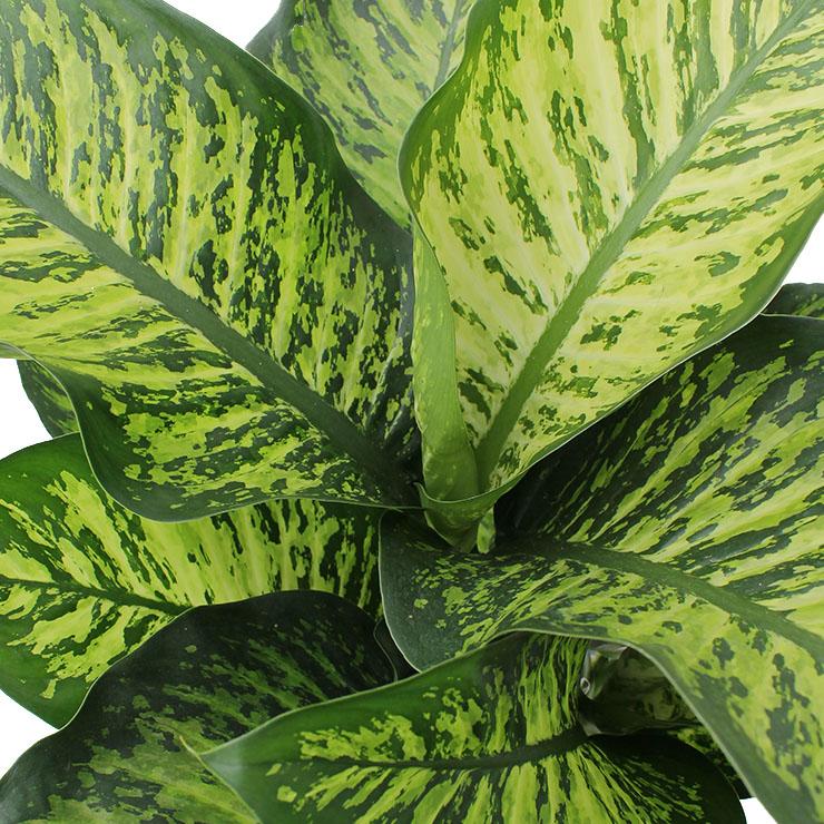 Dieffenbachia met groot blad kopen