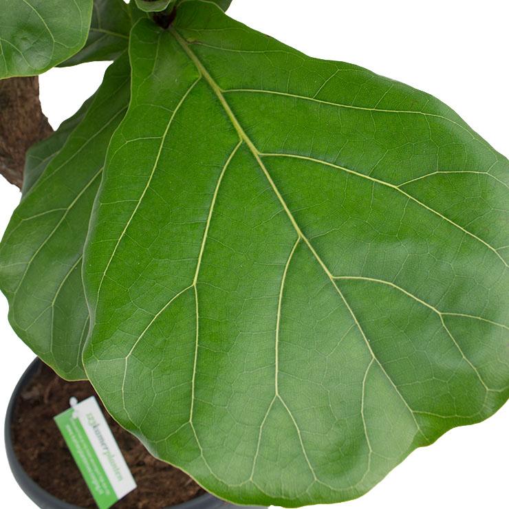 Ficus met groot blad kopen