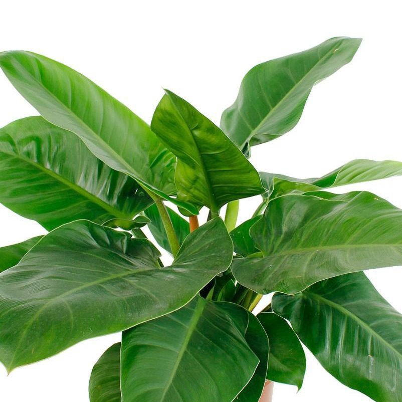 Philodendron verzorging