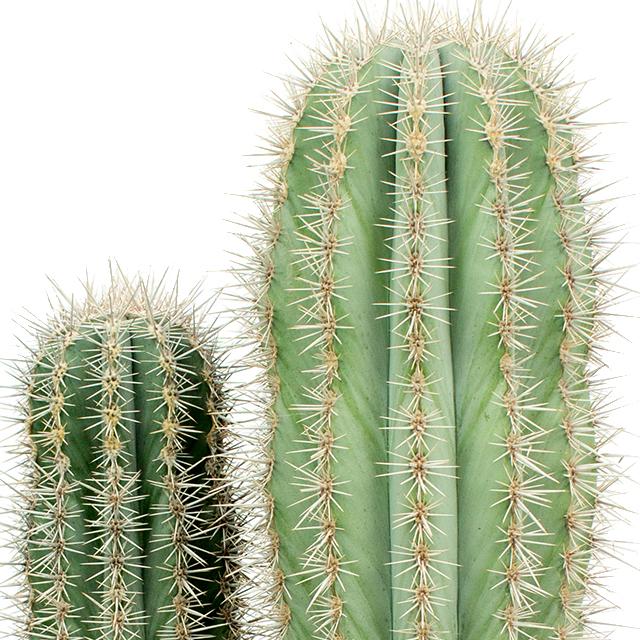 Zuilcactus